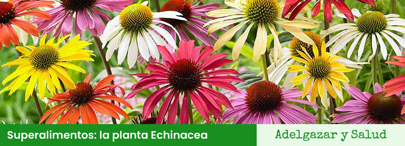 Superalimentos: la planta Echinacea