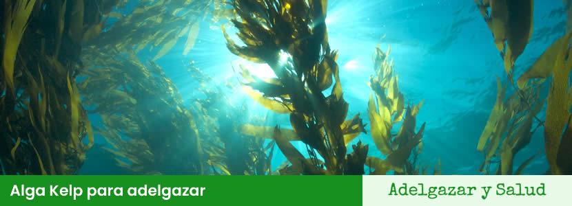 alga kelp para adelgazar