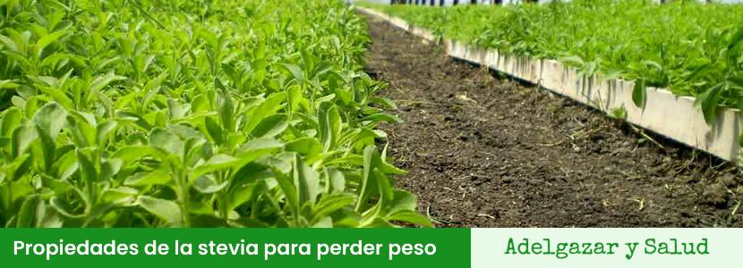 Propiedades de la stevia para perder peso